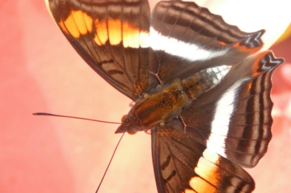 photos of iguassu - butterfly